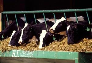 cows-526771_1280[1]